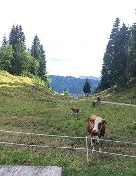 Spring Incentive Programs - Slovenian Cows